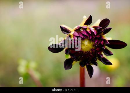 Dahlia - Opening Purple Flower Slowly Displaying Petals - Stock Image
