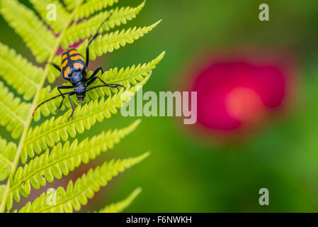 Closeup of long horn beetle on fern leaf - Stock Image