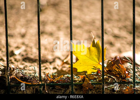 Autumnal Painted Maple Leaf Behind A Fence - Stock Image