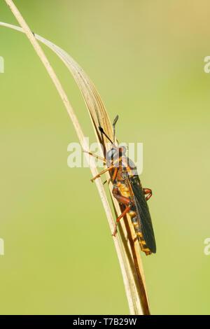 A female Mydas Fly (Phyllomydas parvulus) perches on vegetation. - Stock Image