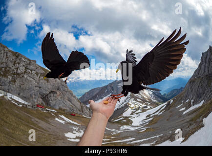 Feeding alpine choughs - Stock Image
