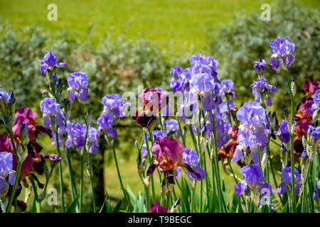 Lilac iris flowers, spring blossom of colorful irises in Provence, South of France, nature background - Stock Image