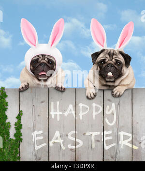 two cute pug puppy dogs, dressed up as easter bunny, hanging with paws on wooden fence, with blue sky background - Stock Image