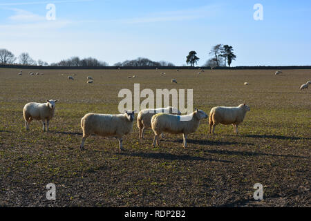 sheep in a field, near Sherborne, Dorset, UK - Stock Image