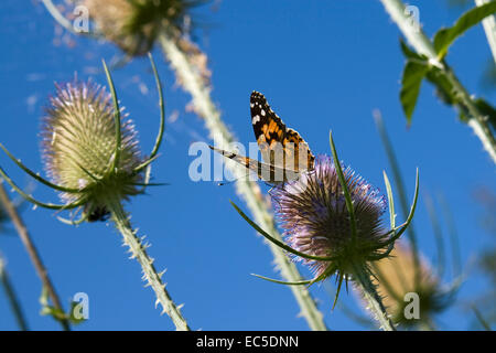 butterfly on thistle with blue sky - Stock Image