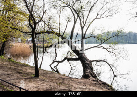 Berlin,Pankow. Weissensee, White Lake. Bare tree, tranquil water & reflections - Stock Image