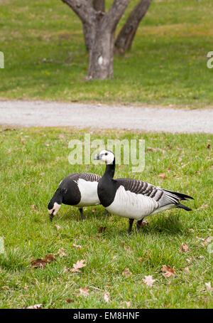 A canada goose couple in the park. - Stock Image