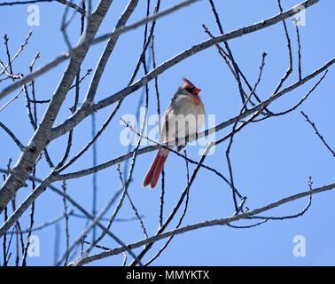 Female Northern Cardinal, Cardinalis cardinalis perched on tree, early spring - Stock Image