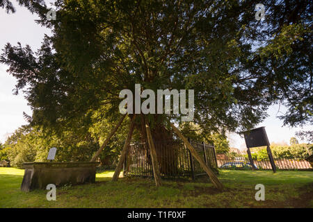 The ancient yew tree thought to be 1500-2000 years old one of the seven wonders of Wales at Saint Mary the Virgin Church Overton on Dee North Wales - Stock Image