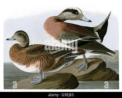 American Wigeon, Anas americana, birds, 1827 - 1838 - Stock Image