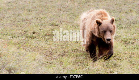 Large Wild Grizzly Bear Foraging for Food Alaska Outback Wildlife - Stock Image