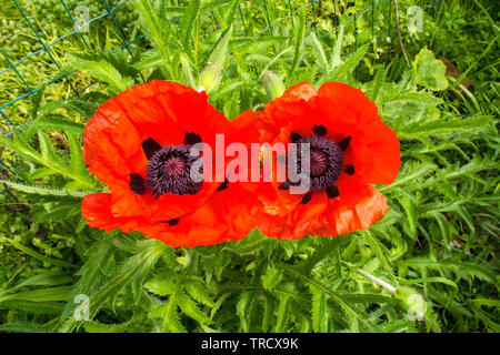 Two giant red poppies in sunlight. Photographed in north east Italy. - Stock Image