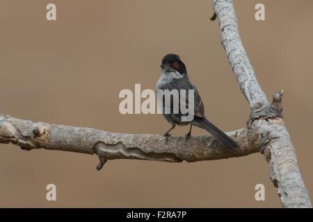 Sardinian Warbler in Andalucia - Stock Image