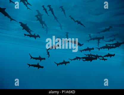 Scalloped Hammerhead Sharks (Sphyrna lewini) schooling in current with Barberfishes (Heniochus nigrirostris), Cocos Island, Costa Rica - Pacific Ocean - Stock Image