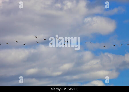 A flock of wild geese is flying through the blue spring sky - Stock Image