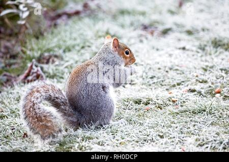 Hailsham, UK. 31st Jan, 2019. UK weather.A Grey squirrel (Sciurus carolinensis) struggles to find food this morning after a hard overnight frost in Hailsham, East Sussex, UK. Credit: Ed Brown/Alamy Live News - Stock Image