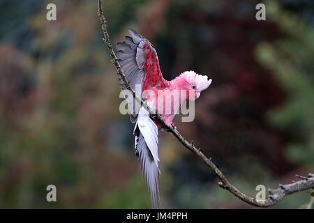 Australian Rose breasted Cockatoo or Galah Cockatoo (Eolophus roseicapilla) landing in tree. - Stock Image