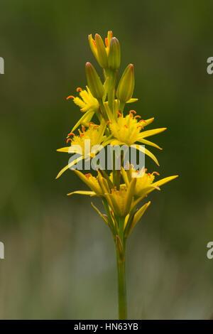 Bog asphodel (Narthecium ossifragum) in flower. Isle of Skye, Scotland. - Stock Image