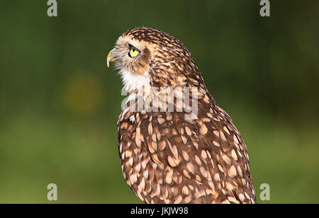 New World Burrowing owl (Athene cunicularia) in close-up - Stock Image