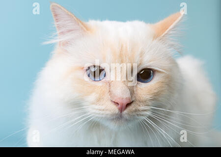 birman male cat portrait on light blue background looking at camera - Stock Image
