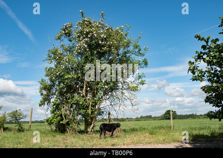 A dog rose scrambles over an elderberry bush - Stock Image