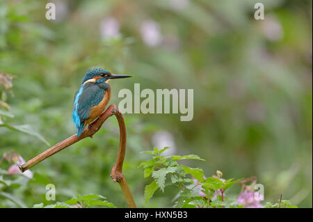 Common kingfisher (Alcedo atthis) adult female perched on river bank. Worcestershire, England. September. - Stock Image