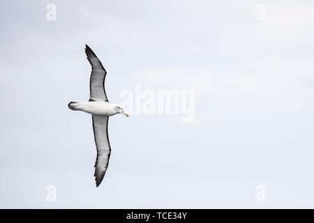 Portrait of a seagull in flight, Australia - Stock Image