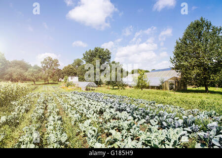 Vegetables ready for harvesting in organic farm - Stock Image