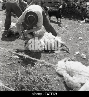 1960s, historical, sheep shearing, in an enclosure by a stone wall, a farmer using a large pair of scissors cutting the wool off a sheep, England, UK. - Stock Image