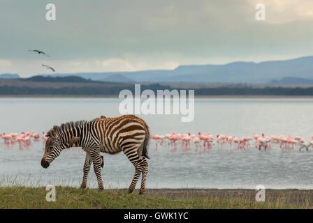 A baby zebra on the shore of Lake Nakuru with flamingos. - Stock Image