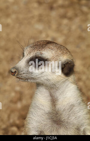 meerkat or suricate (Suricata suricatta) at Cincinnati zoo Face close up - Stock Image