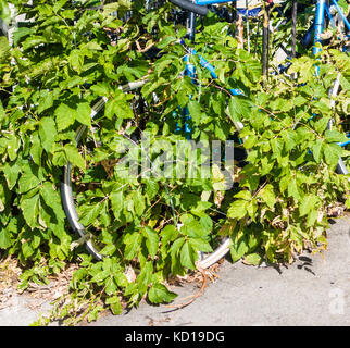 Vines take over a bicycle in Kensington Market in downtown Toronto Ontario Canada - Stock Image