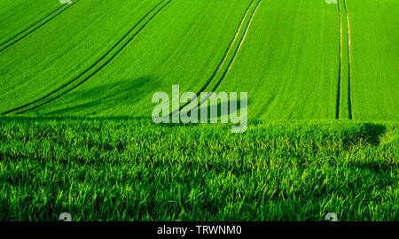 A rolling green wheat field on a hill with four seperate lines of tractor tyre tracks running vertically up the green field, Sussex, England  the line - Stock Image