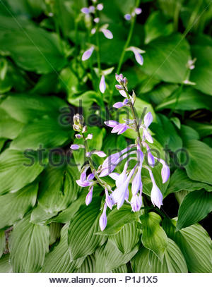 Hosta — AKA plantain lily, giboshi or Funkien — as the first flowers sprout up in spring - Stock Image