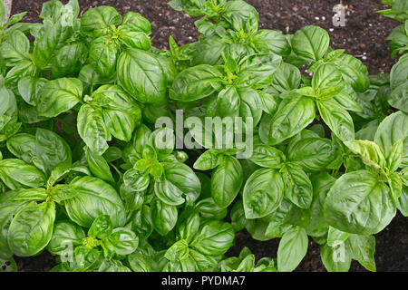 Close up of Italian sweet Basil in a herb garden - Stock Image
