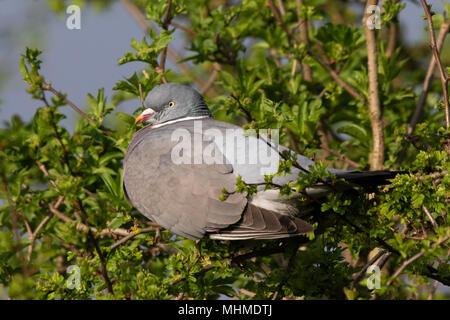 Common Woodpigeon (Columba palumbus) sunbathing on the top of a Hawthorn (Crataegus monogyna) bush in early spring - Stock Image