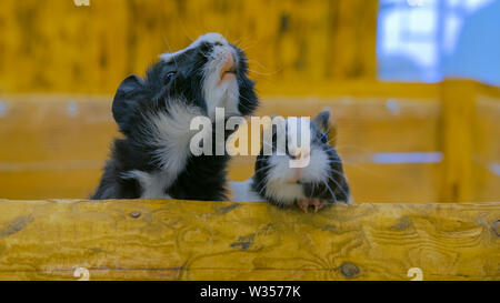 Curious guinea pigs looking around - Stock Image