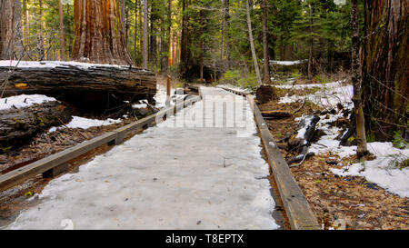 The dangerous,slippery frozen boardwalk North Grove trail Calaveras Big Trees State Park, California, USA, are an accident waiting to happen - Stock Image