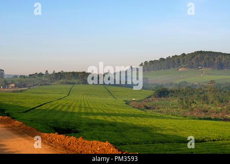 Tea Plantation, Plantations, Tea Farms, Uganda East Africa - Stock Image