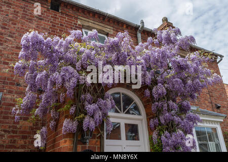 Purple flowering Wisteria scrambling over the front of a cottage in the village of Grendon, Northamptonshire, UK - Stock Image