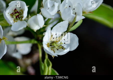 Close up of blossoms on pear tree (Pyrus communis), common pear in garden - Stock Image