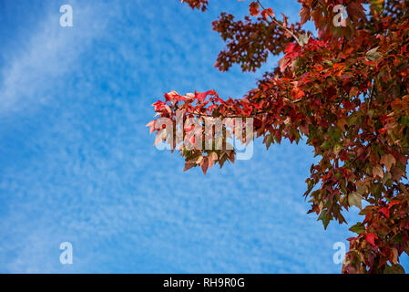 Fall Tree with red leaves in North Central Florida. - Stock Image