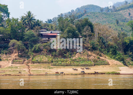 Small local riverside village with cattle grazing on the banks of the Mekong River, northern Laos, south-east Asia - Stock Image
