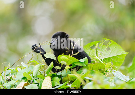 A young howler monkey eating a vine in the rain forest of Costa Rica. - Stock Image