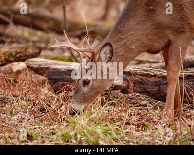 White-tailed deer (Odocoileus virginianus) buck grazing. Thatcher Woods, River Forest, Illinois. - Stock Image