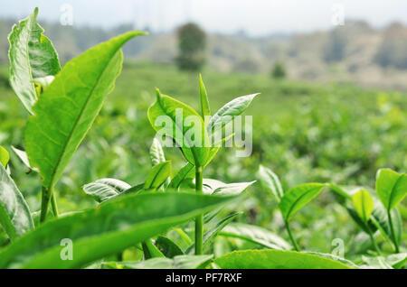 Tip of tea leaves - Stock Image