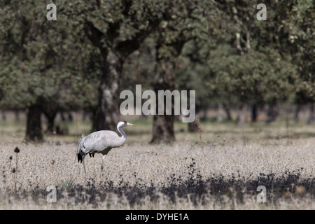 Common Crane, Eurasian Crane, Grus grus, Kranich, Extremadura, Spain, adult crane in dehesa with oak trees - Stock Image