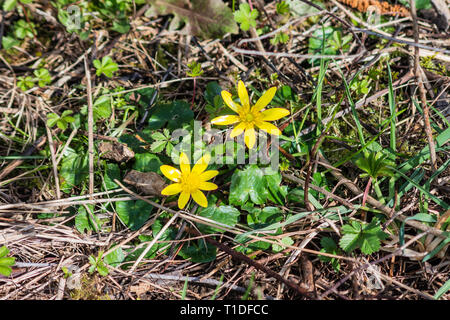 Closeup of a pair of spring yellow flowers, Ficaria verna, (formerly Ranunculus ficaria L.) commonly known as lesser celandine or pilewort - Stock Image