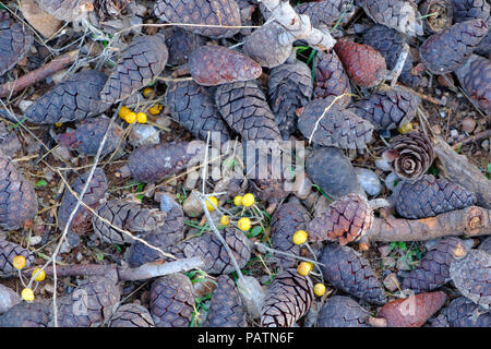 Pinecones ( κουκουνάρα ) of different colours scattered on the floor after a mountain fires clear up. Saronida, East Attica, Greece, Europe. - Stock Image