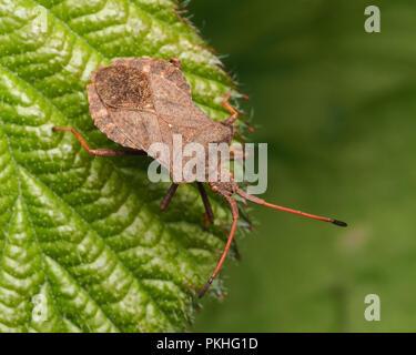 Dock Bug (Coreus marginatus) perched on leaf. Tipperary, Ireland - Stock Image